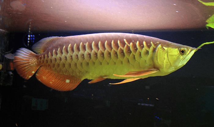 Milujeme Kameny - dračí ryba - arowana