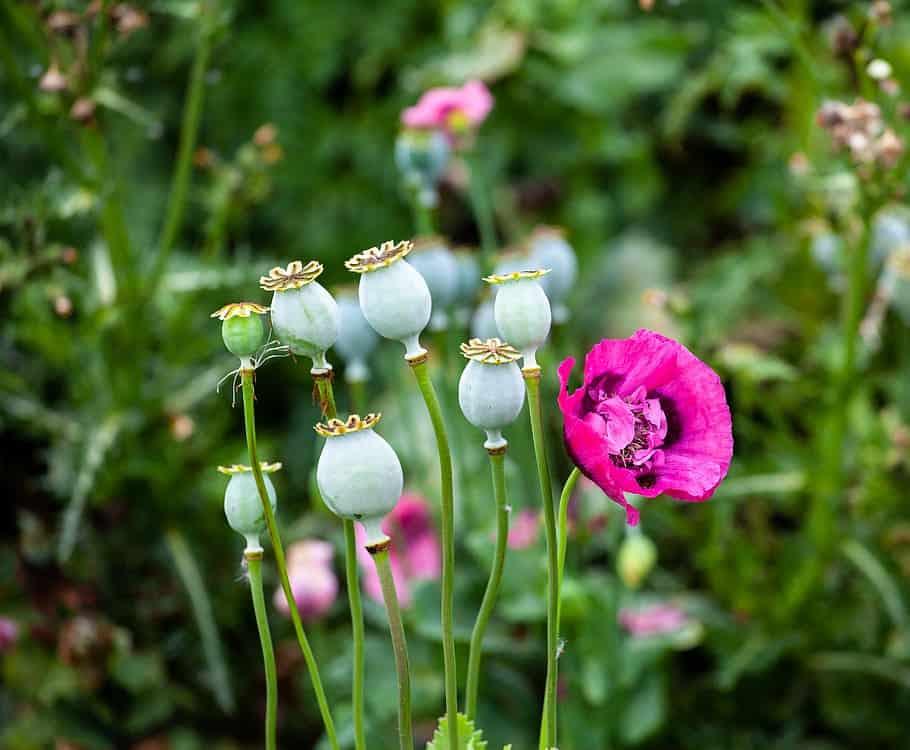 Milujeme Kameny - opium