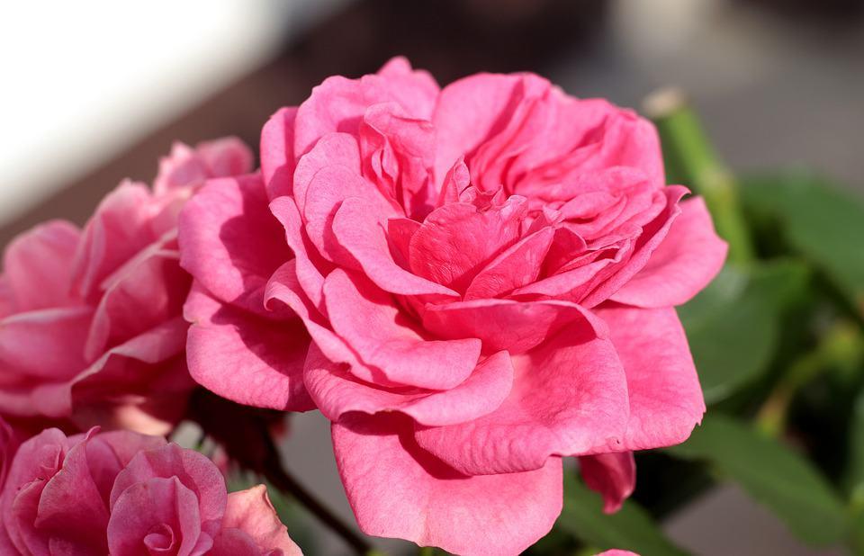 Milujeme Kameny - růže